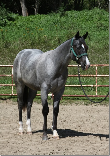 1000 Images About Horses Roan On Pinterest Blue Roan